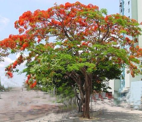 澳洲火焰木树摄影