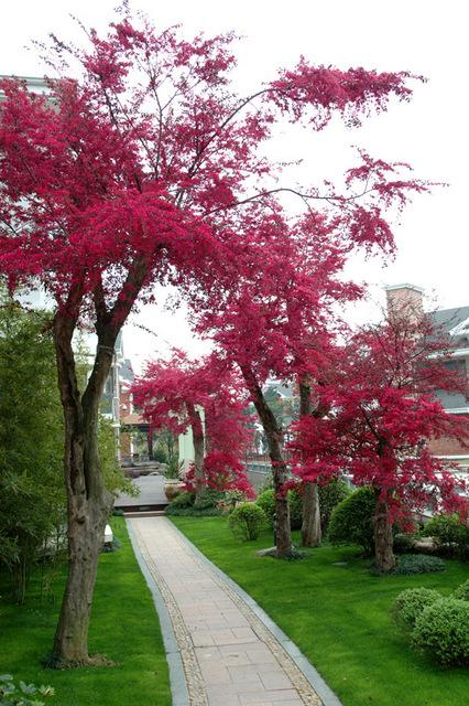 红花继木 - 植物库